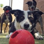 3 dogs playing with red balls at Jet Pet Resort.