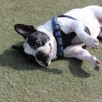 dog enjoys the turf at jet pet resort north shore